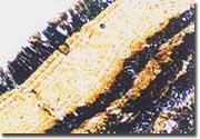 白スケール断面の顕微鏡写真